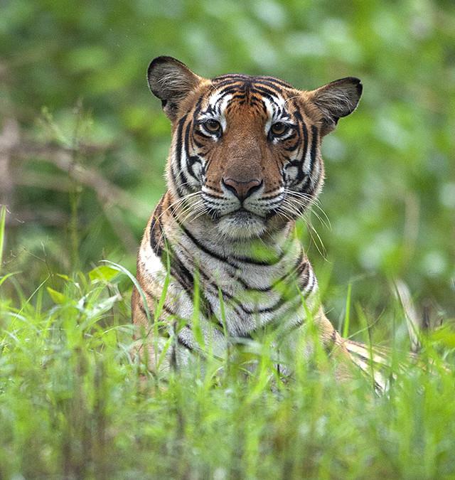 Tiger in twilight zone in Kabini