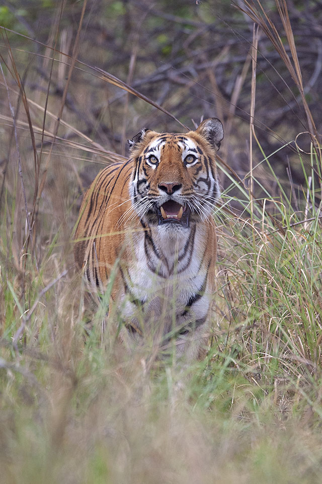 Tiger with Gaur kill in Tadoba