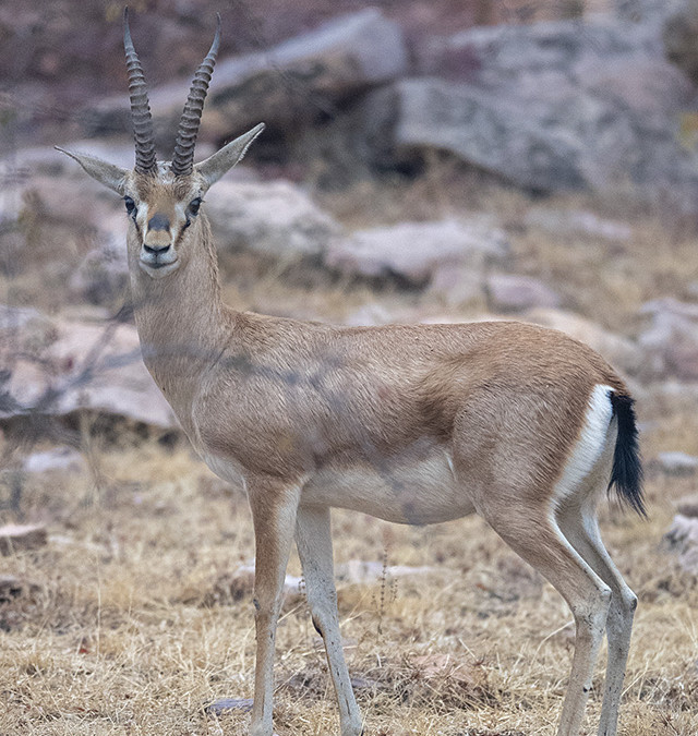 Chinkara – Indian Gazelle in Ranthambore National Park