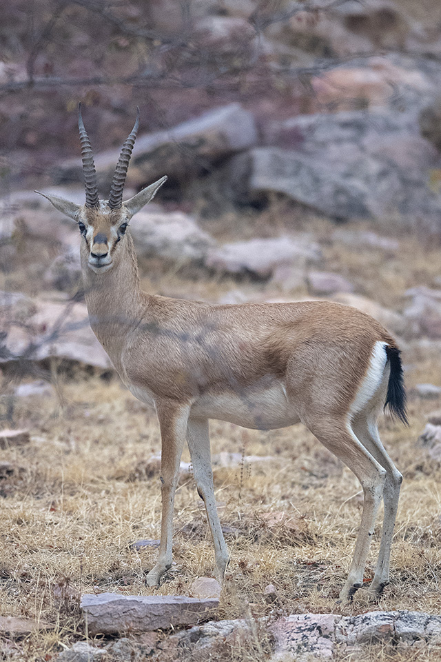 Chinkara – Indian Gazelle in Ranthambore National Park