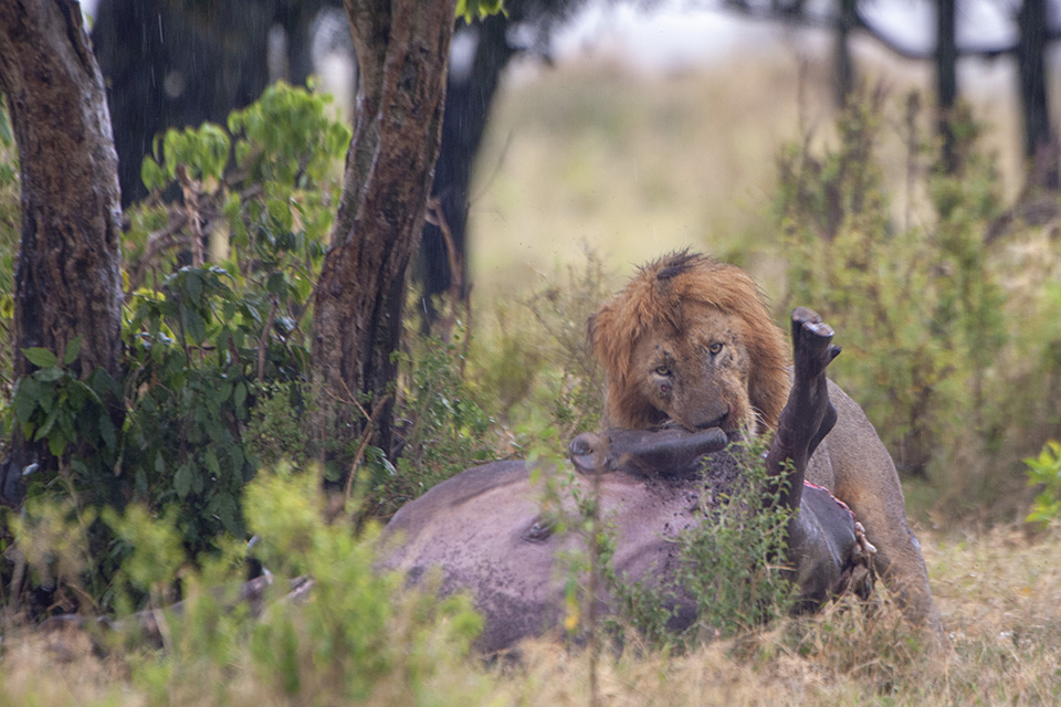 Lions at Buffalo kill in Maasai Mara