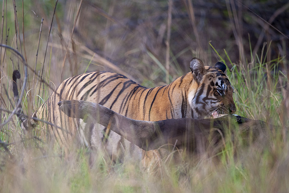 Tiger feeding on Gaur in Tadoba