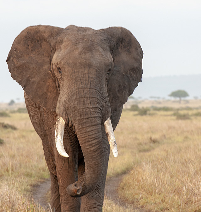 Crossing paths with an African Elephant in Maasai Mara