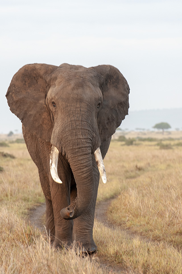 Crossing paths with an African Elephant in Maasai Mara
