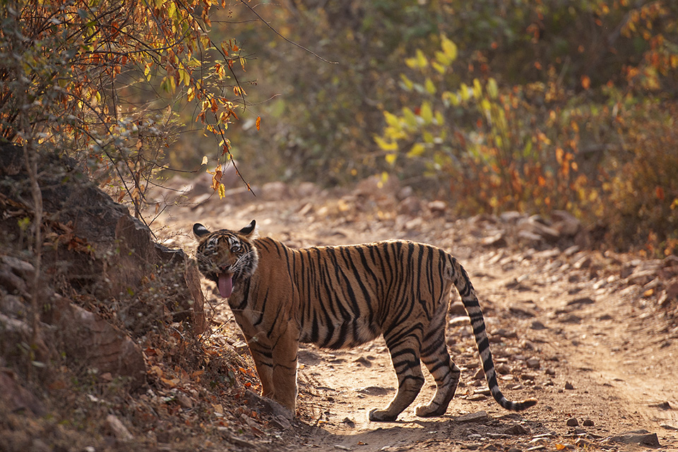 Tiger leads us to siblings in Ranthambore