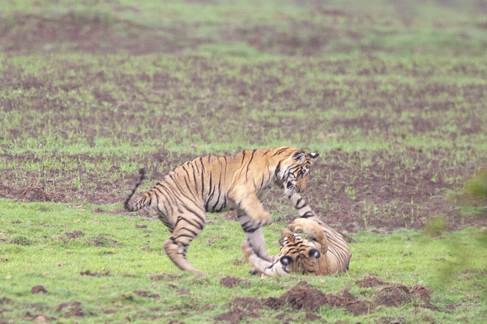 Tiger cubs playing in Tadoba