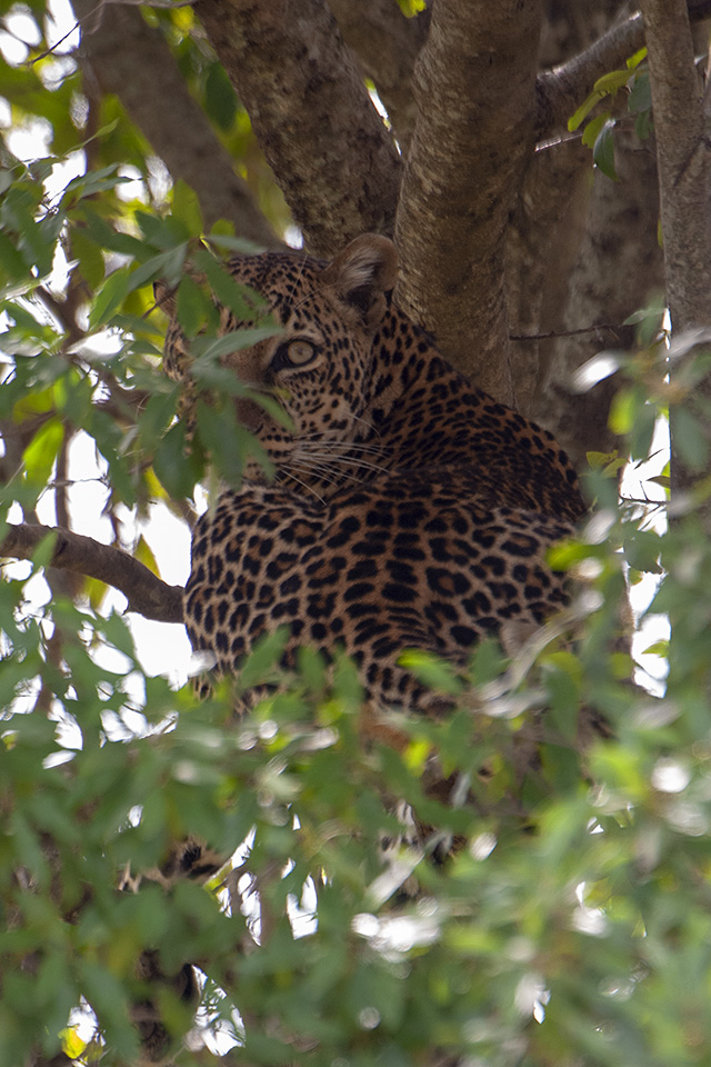 Boldest Leopardess in Maasai Mara