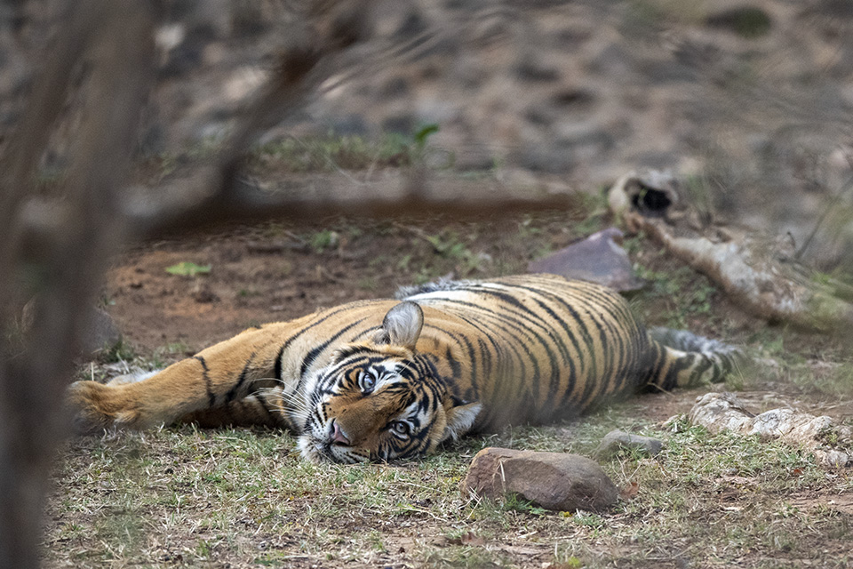 Noor's third cub makes a bold appearance in Ranthambore