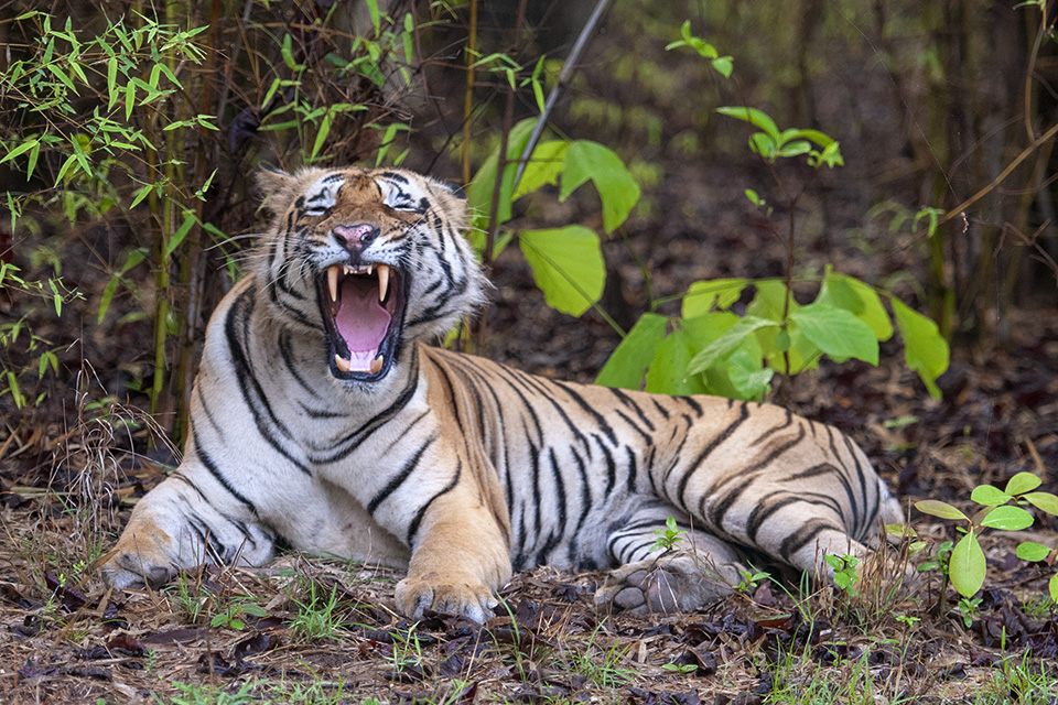 Sighting of the most popular Tiger in Tadoba