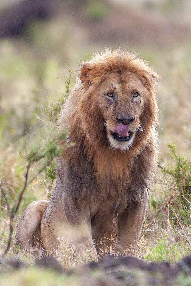Tale of two African Lions and a failed hunt in Maasai Mara