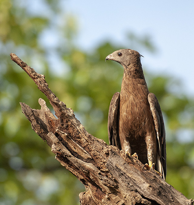 Friendly Oriental Honey Buzzard in Tadoba