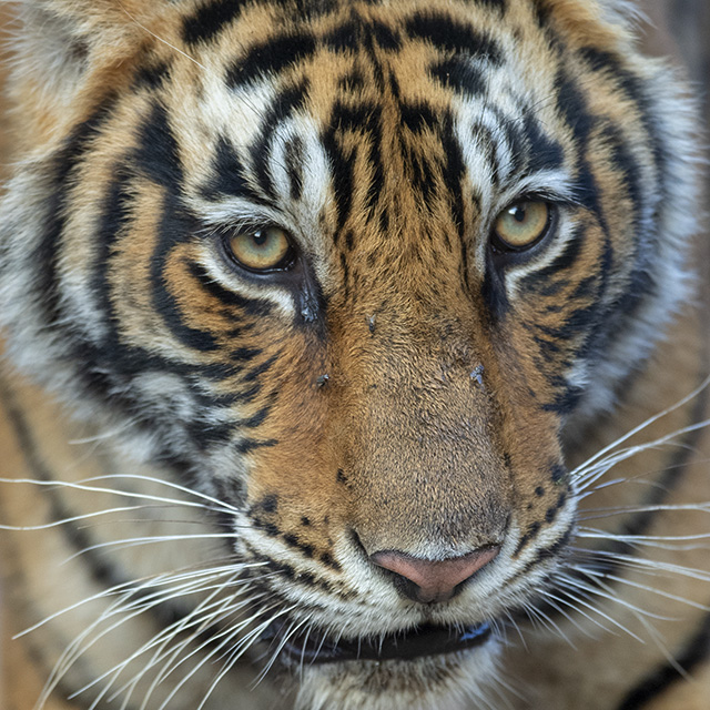 Close encounter with a Tiger in Ranthambore