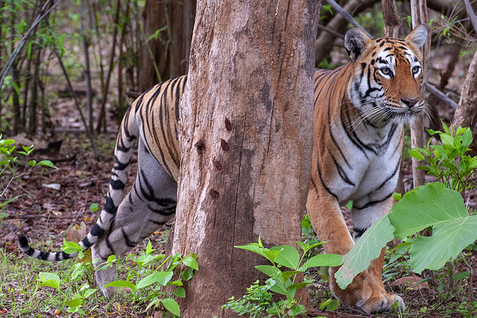 Maya – Tadoba's most popular Tigress contd…