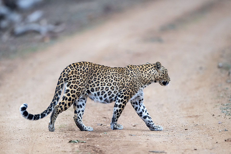 Leopard that never looked back in Kabini