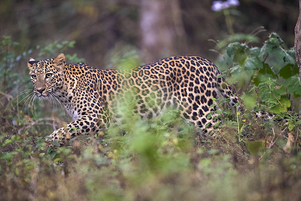 On a Leopard's trail in Bandipur
