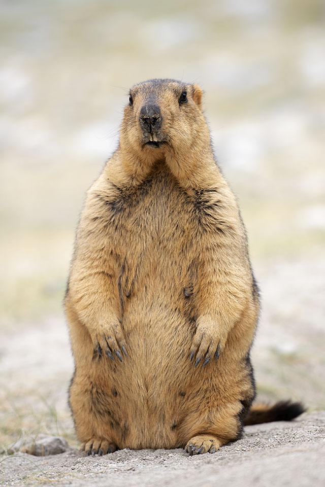 Himalayan Marmot in Changthang Wildlife Sanctuary