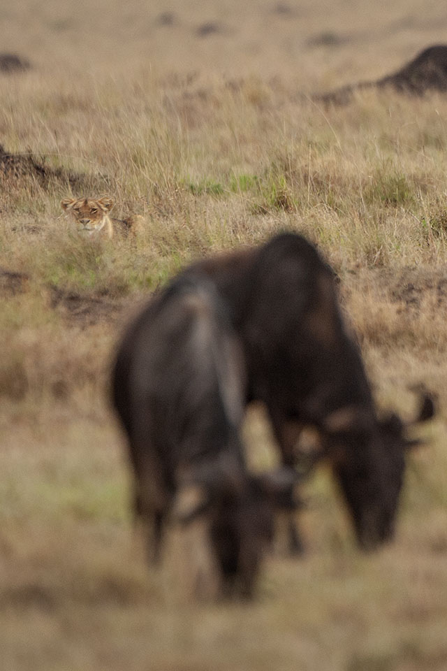 Lion stalking Wildebeest in Maasai Mara