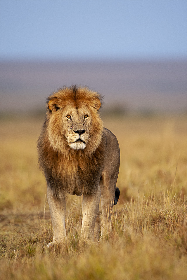 Handsome African Lion in Maasai Mara