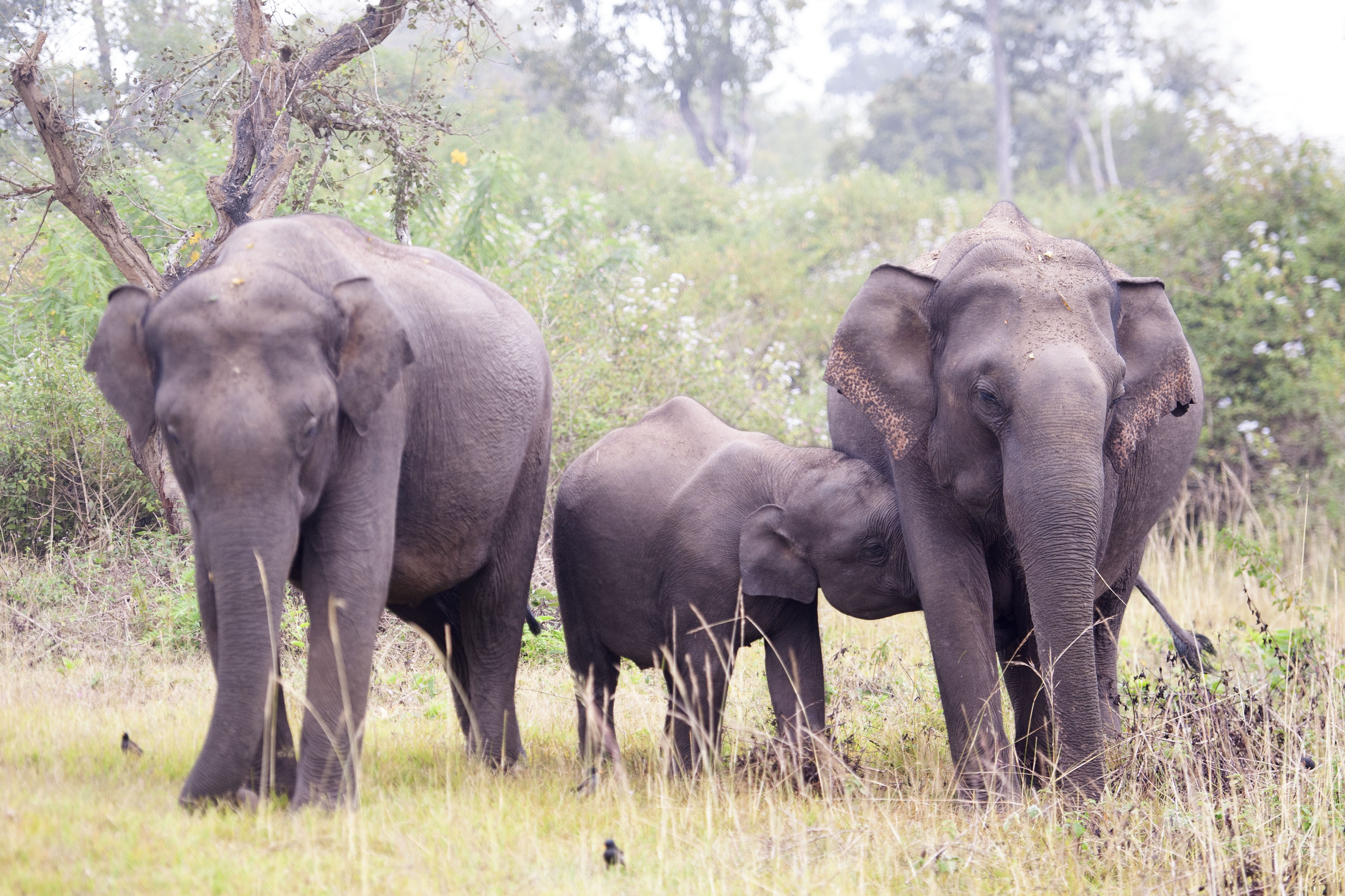 Asiatic Elephant with calf in Bandipur
