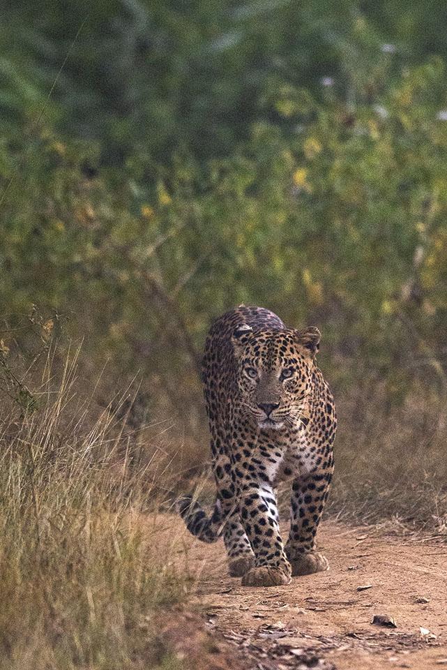 Cat walk in Bandipur