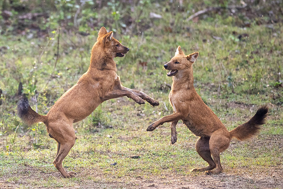 Wild Dogs gone wild in Kabini