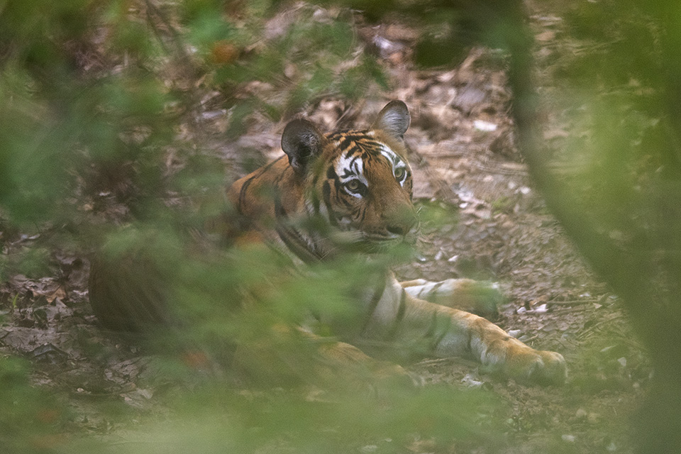 Camouflaged Tiger in Kabini