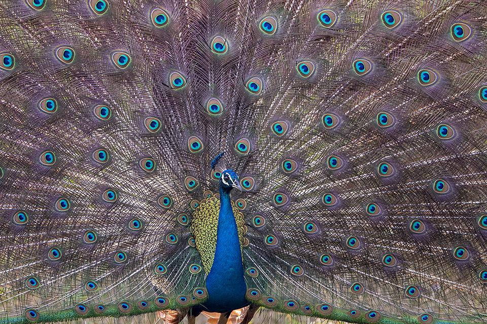 Peacock dance in Kabini