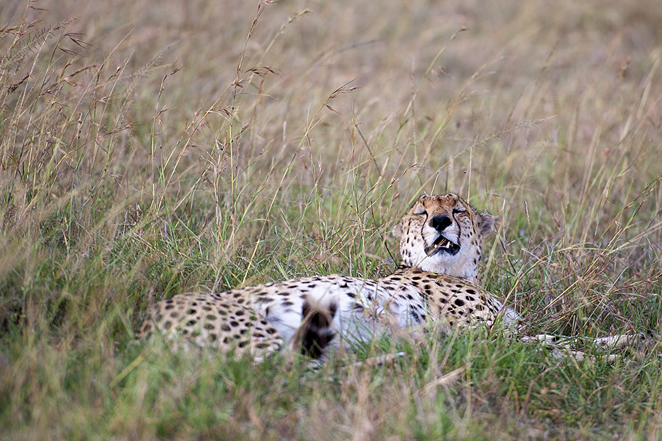 Famous Cheetah brothers of Maasai Mara