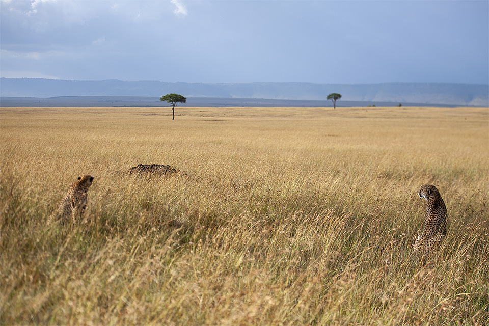 Cheetah brothers scanning Maasai Mara Savannah