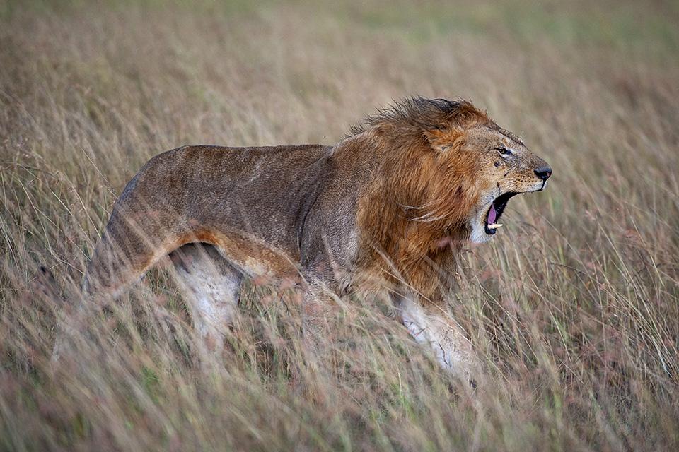 African Lions in Maasai Mara