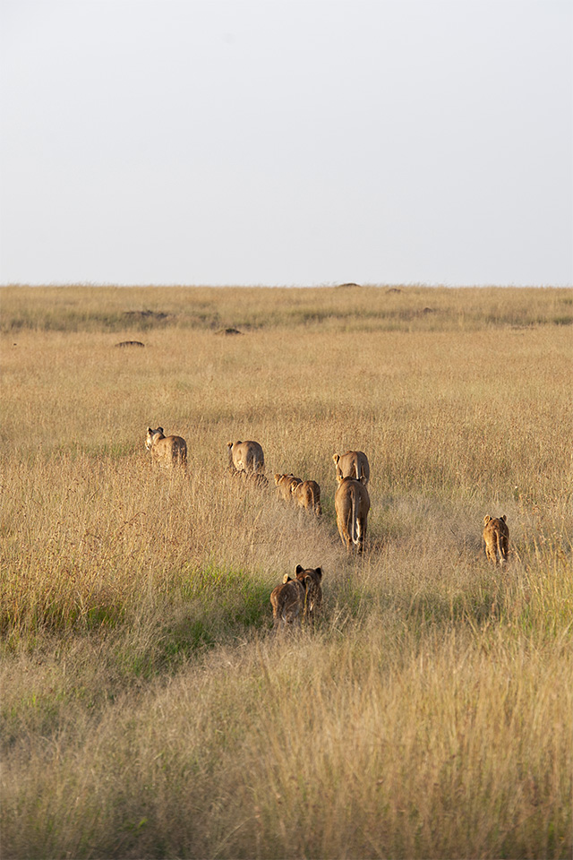 Stroll in Maasai Mara alongside a Pride of Lions