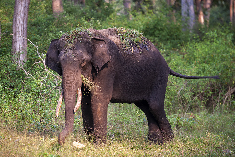 Asiatic Elephant with a grassy hairdo in Kabini