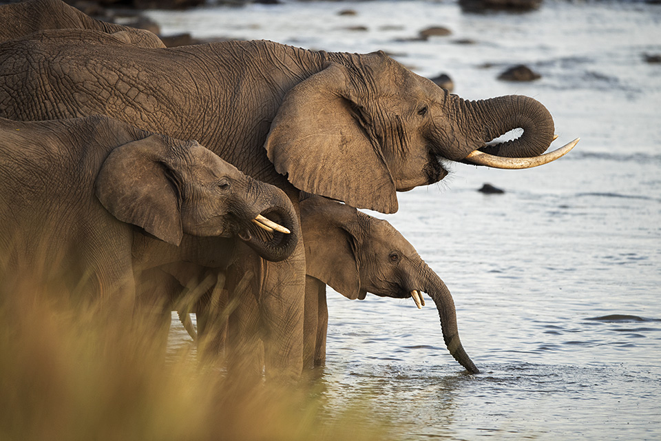 Mara crossing – African elephants