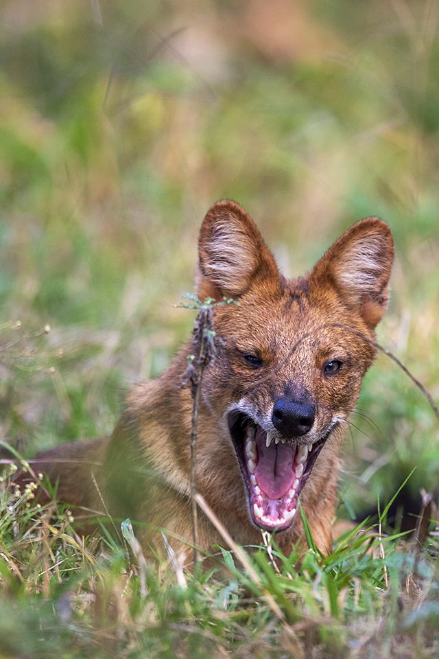 Wild Dogs in Kabini