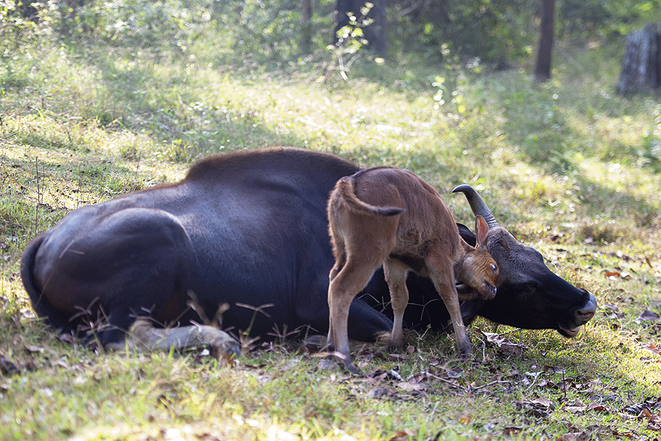 Gaurs playing in Kabini