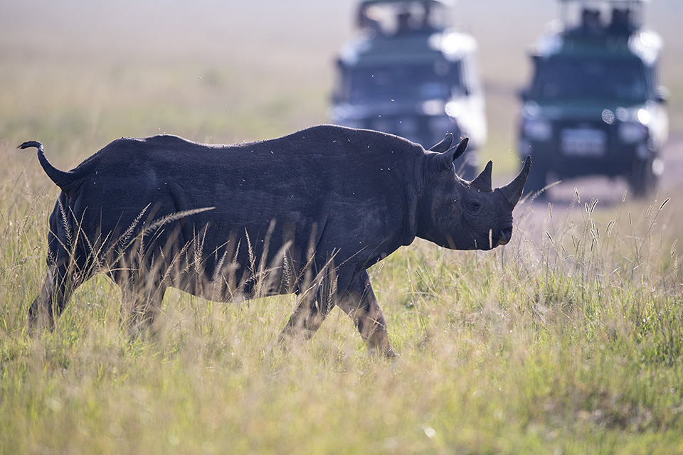 Black Rhinoceros in Maasai Mara