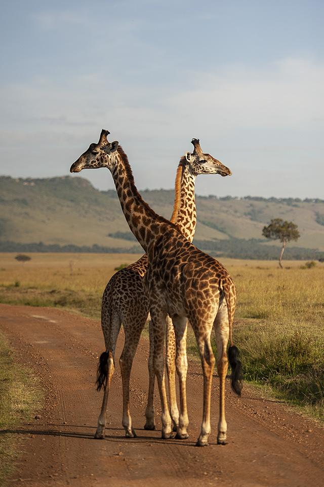 Curious Giraffes in Maasai Mara