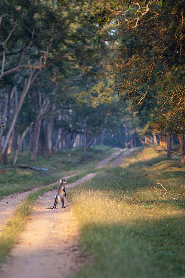 Langur walking in the Kabini wilderness