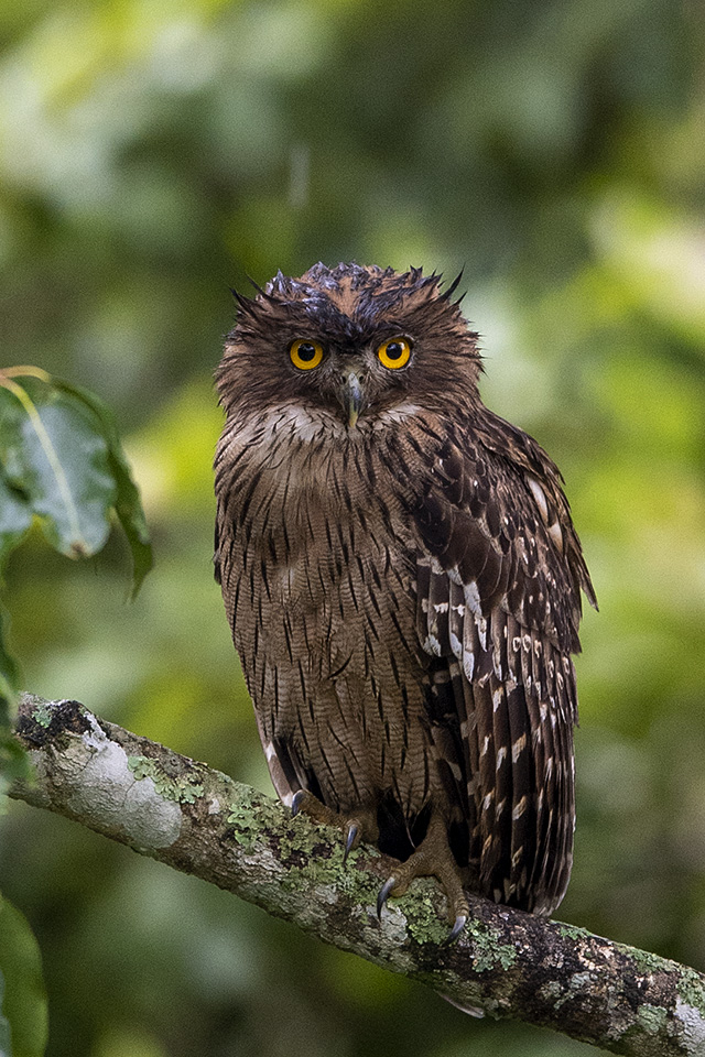 Brown Fish Owl in Bandipur