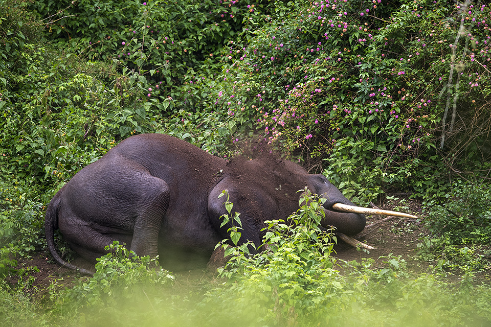 Elephant wallowing in Bandipur