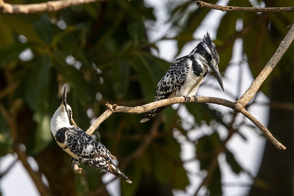 Pied Kingfishers in Maasai Mara