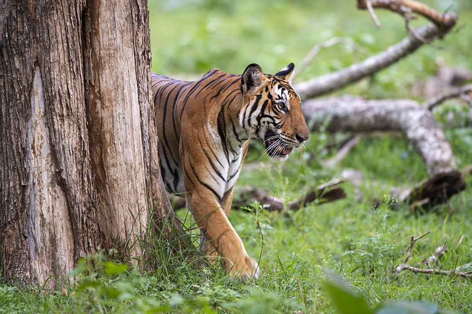 Bengal Tigress-walk in Kabini