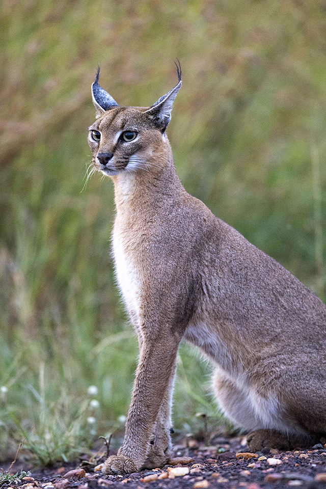 Chance sighting of a Caracal in Maasai Mara
