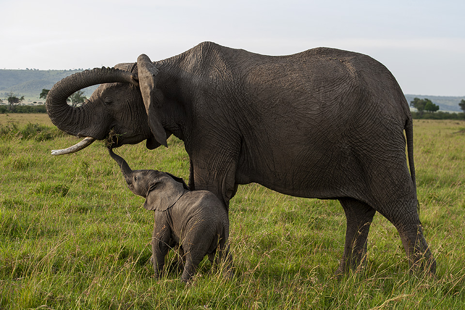 Mischievous African Elephant calf in Maasai Mara