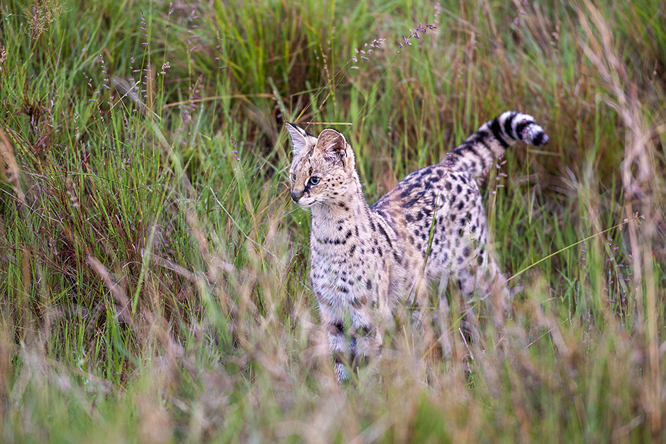 Serval on the prowl in Maasai Mara