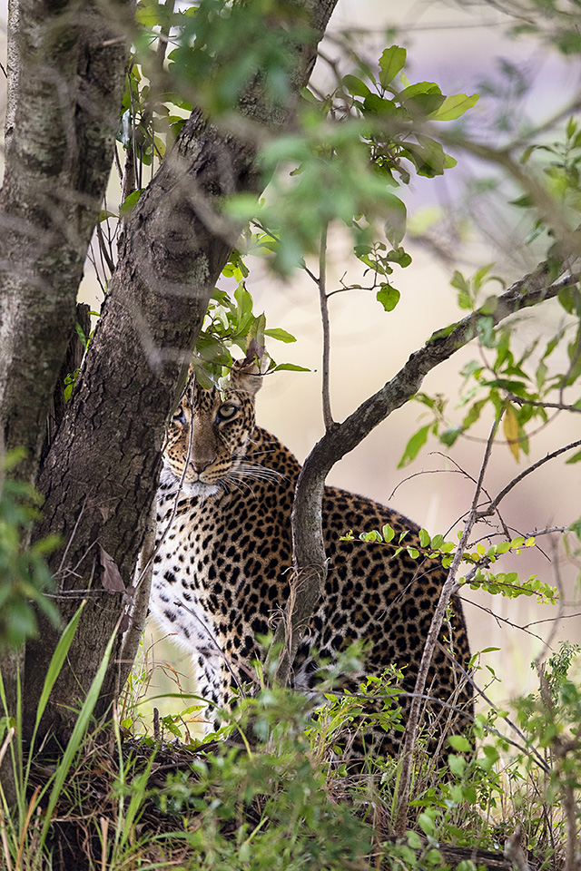 A day in Mara with a patient Leopard