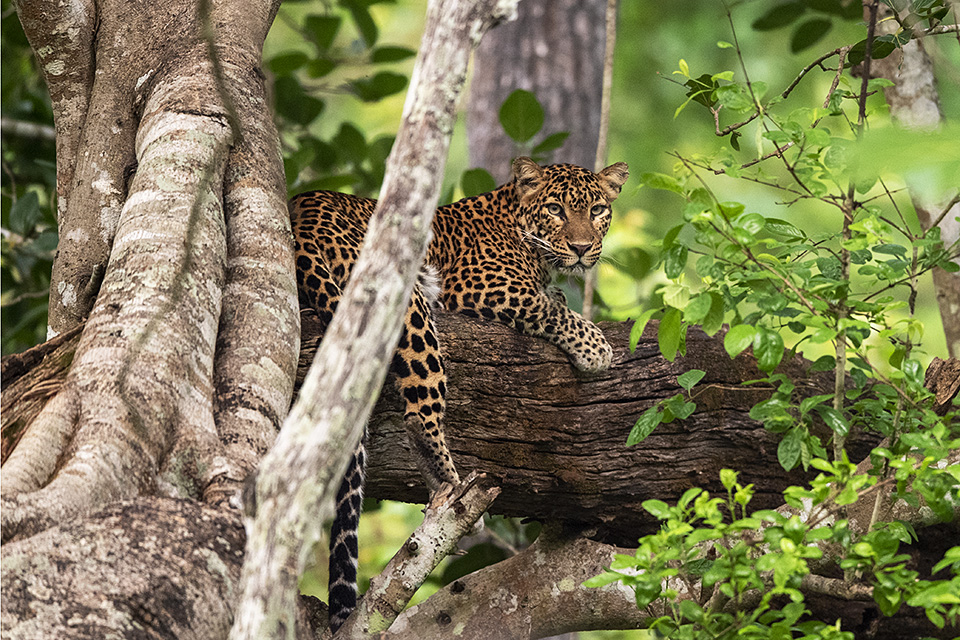 Exciting sighting of a Leopard on a tree in Kabini