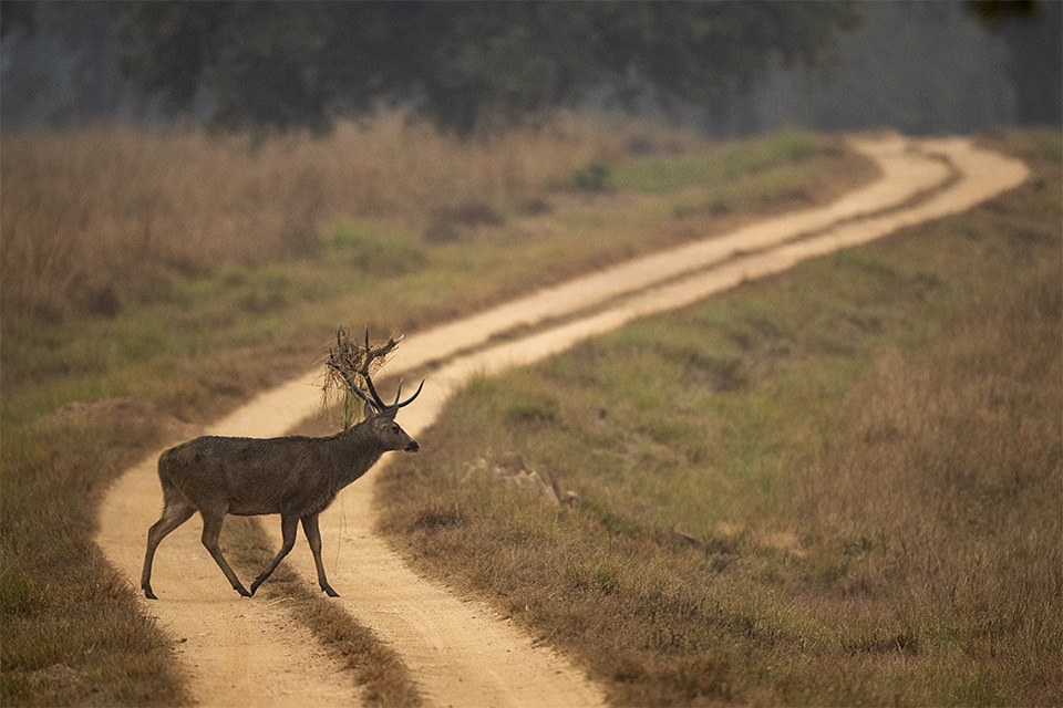First glimpse of a Barasingha in Kahna