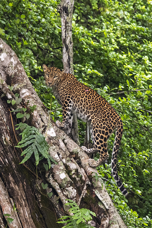 Sensational Cat walk in Kabini
