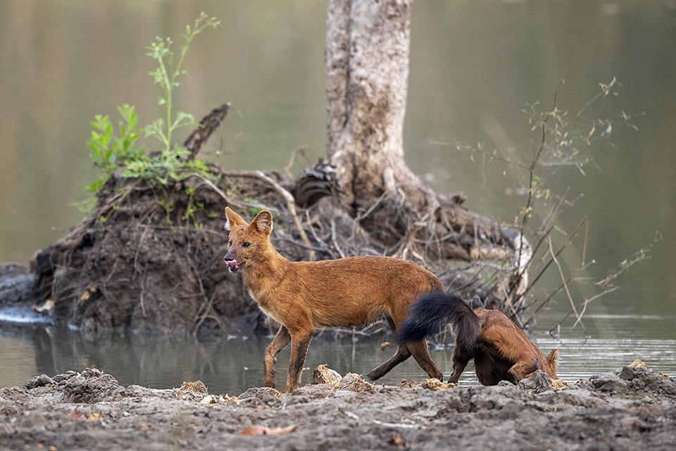Wild Dogs at a water hole in Kabini